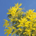Winter-blooming mimosa