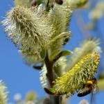 Winter-blooming willow
