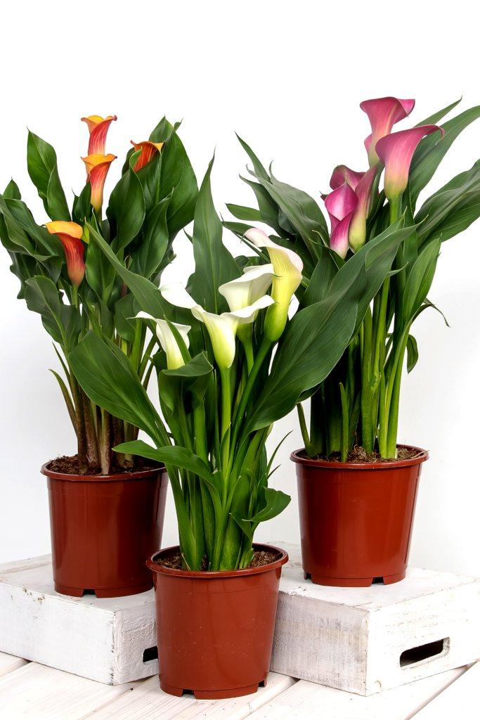 Zantedeschia, the florists' arum