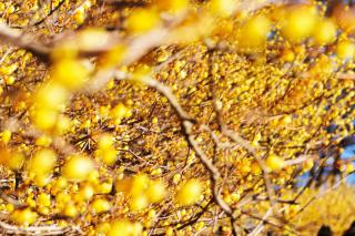 Thousands of yellow chimonanthus flowers cover the scene.