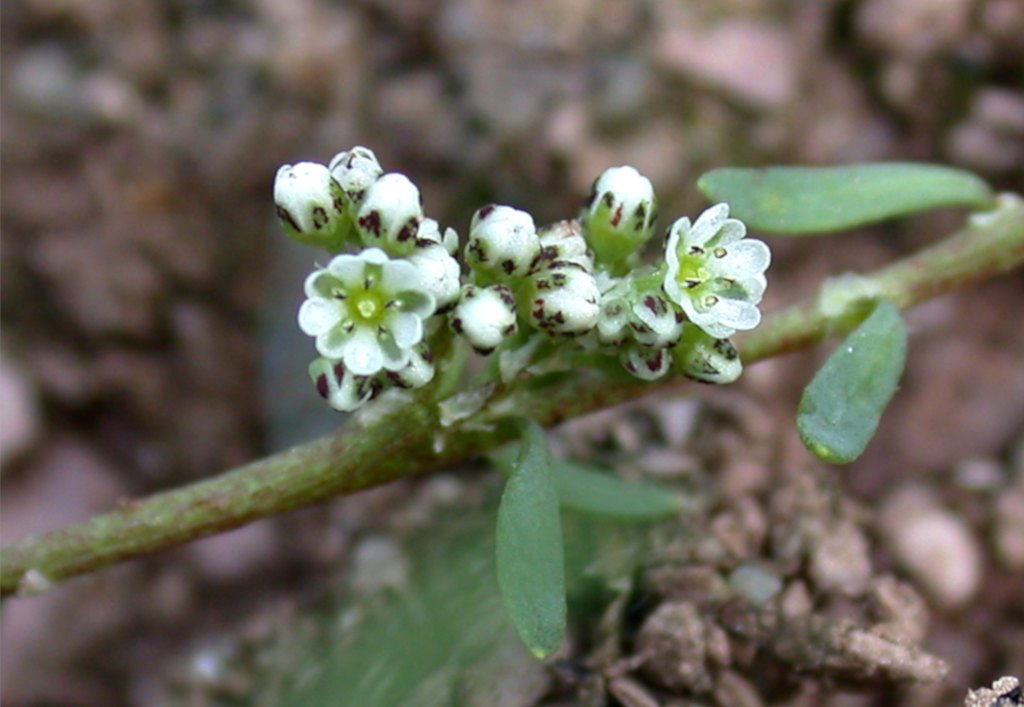 Corrigiola, strapwort, a simple wildflower for rocky ground