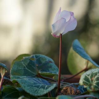A humble, head-bowing cyclamen flower standing upright after a withering frost.