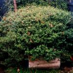 Dwarf yaupon holly shrub grown 8 feet (2.5m) wide in 30 years.