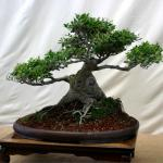 Bonsai grown from a dwarf yaupon stump, on a low table.