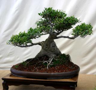 Bonsai grown from a dwarf yaupon stump, on a low table.