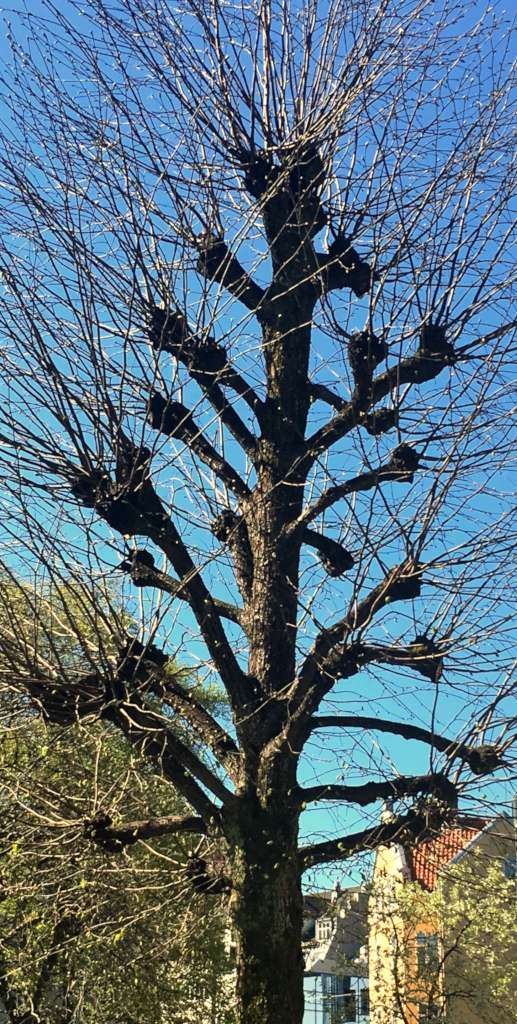 Hat racking, a drastic solution to recover runaway trees