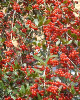 Dense berries cover a thicket of Ilex vomitoria.
