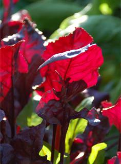 Young leaves are striking red for some red beet varieties.