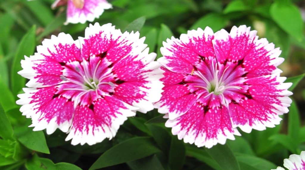 Two China Pink flowers in full bloom.