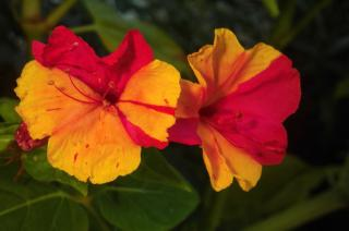 Mirabilis jalapa flowers in a panache of red and yellow.