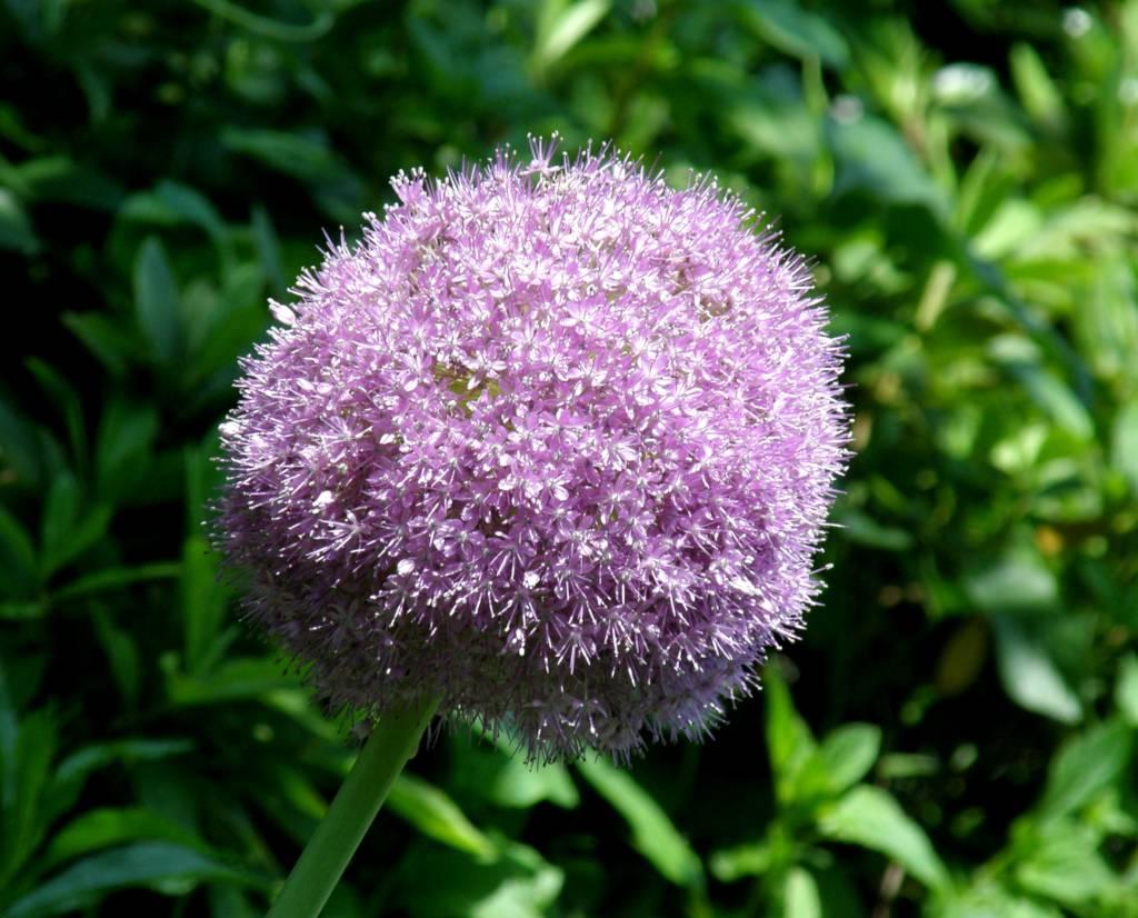 A single pale purple ornamental onion bloom