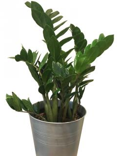 ZZ plant is perfect for growing even in a simple tin pot.