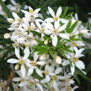 Care for Choisya ternata White Dazzler results in beautiful white flower clusters.