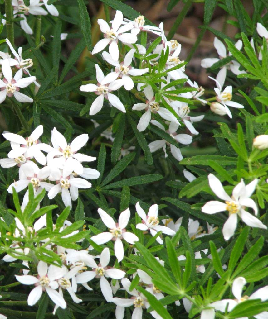 Choisya ternata 'White Dazzler', a shrub bursting with fragrant white stars