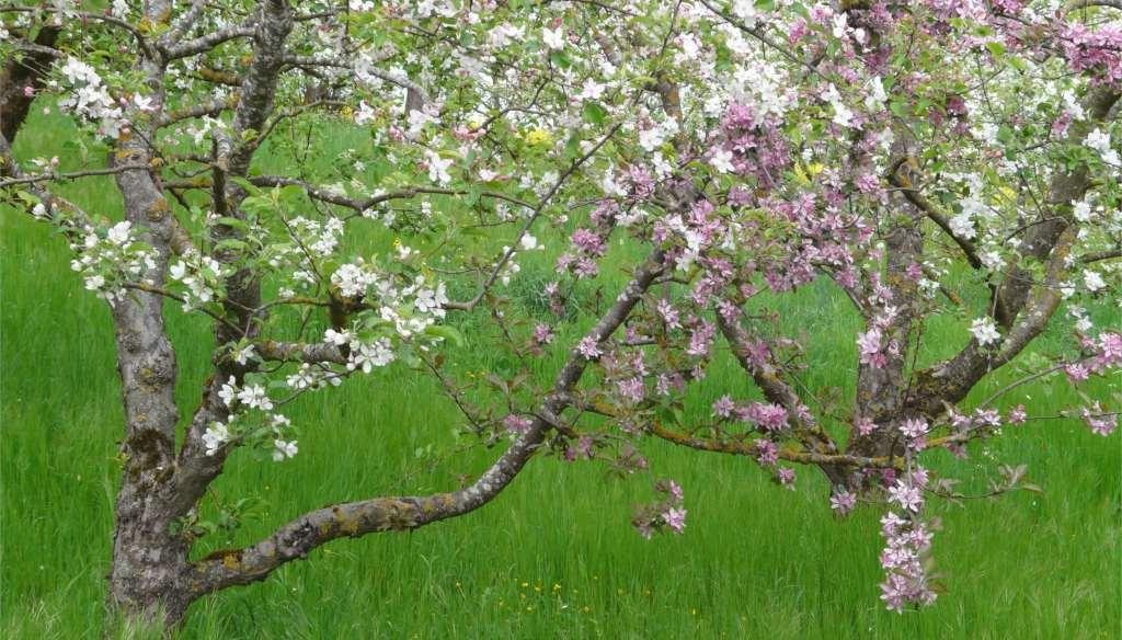 Two different apple tree varieties blooming, white and pink respectively, planted together for cross-pollination.