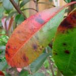 Black leaf spot on a young photinia leaf