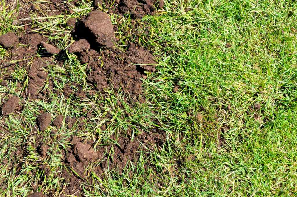 Phase two of topdressing a lawn, topdressing mix strewn across the grass must be raked in.