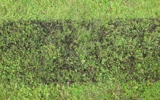 Compost is a commonly used topdressing mix, here a swath of grass is covered in it.