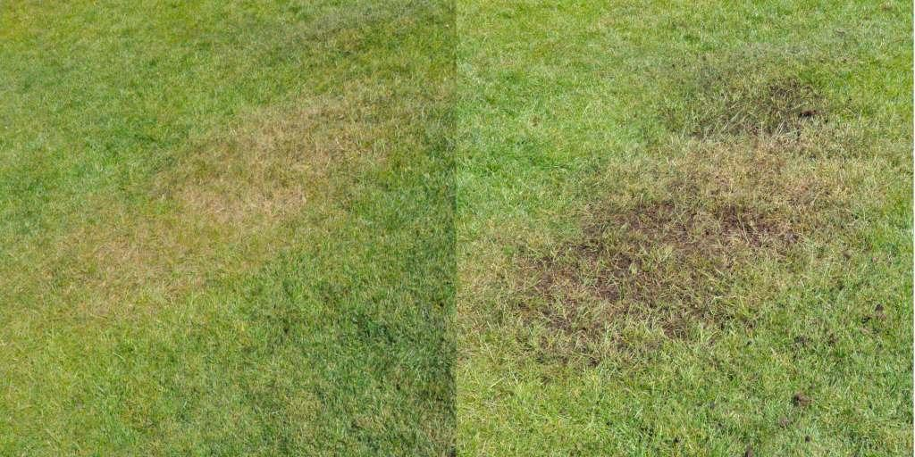 Healing a yellow spot on a lawn with topdressing, before and after.