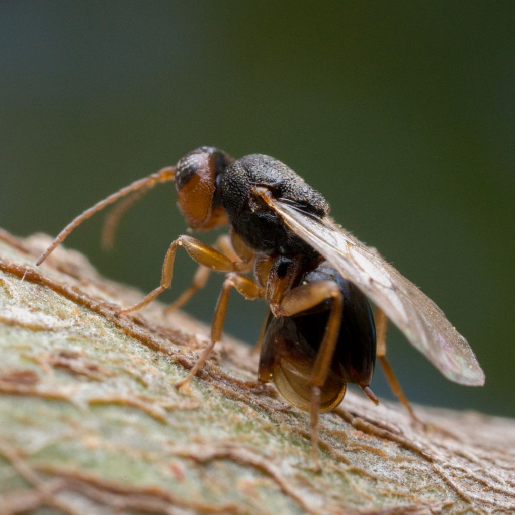 Gall wasp, an insect that parasites plants and trees