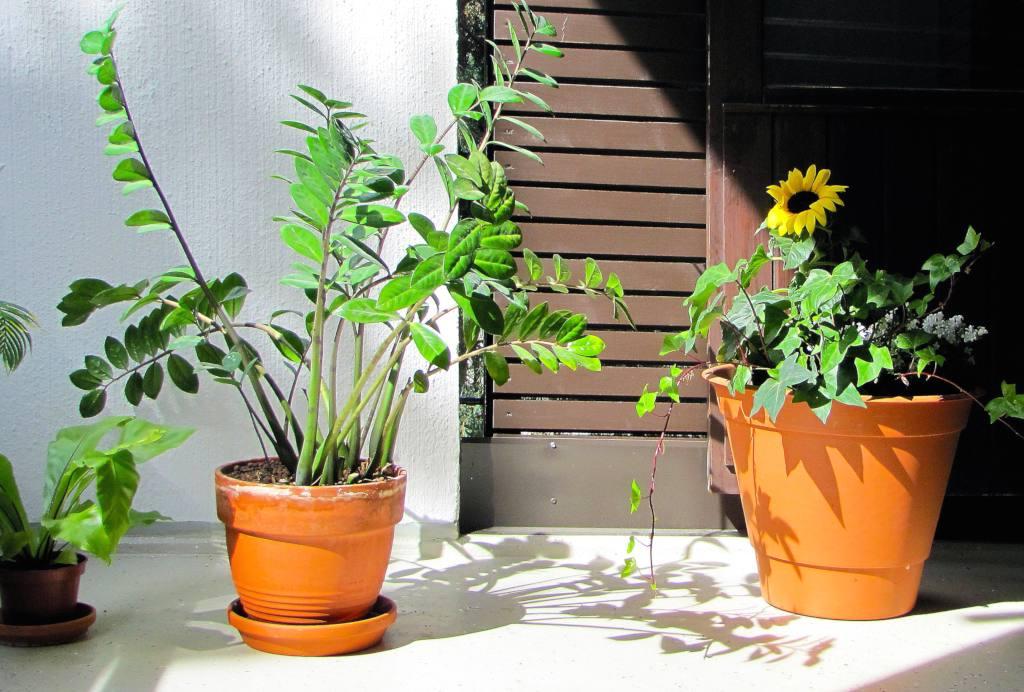 Zamioculcas A Survivor Plant Born Eons Ago And Perfect For The Home