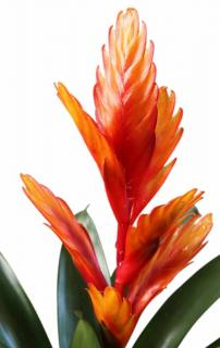 Fiery colors for this blooming flaming sword flower plant.