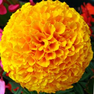 Single French marigold flower, yellow.