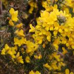 Yellow-blooming gorse is a heath plant