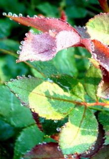 Guttation on rose leaves can be mistaken for morning dew.