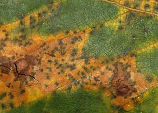 Leaf spot due to Septoria on Birch leaf