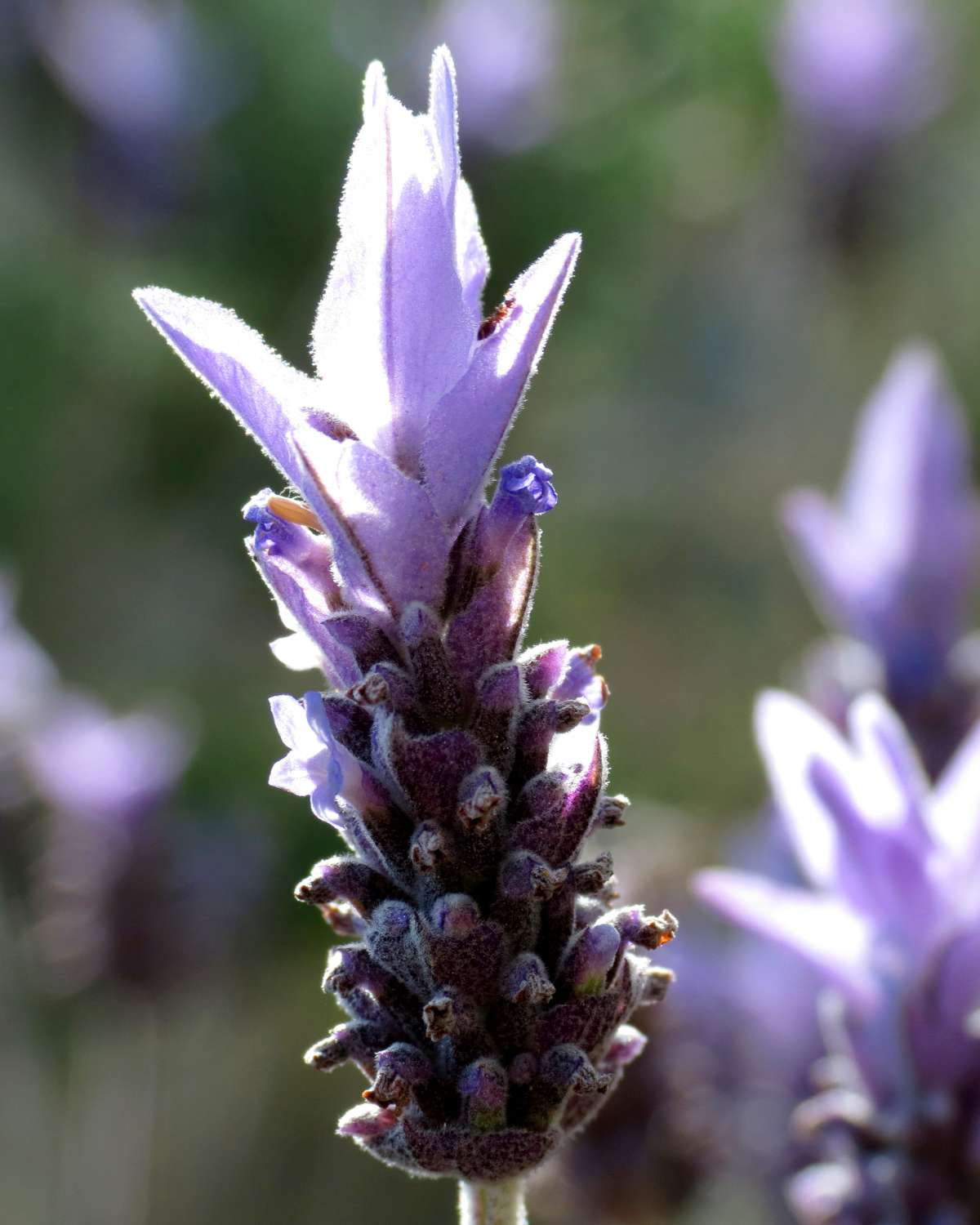 Flower blooming on French lavender