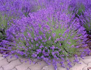 Proper care results in beautiful round lavender mounds.