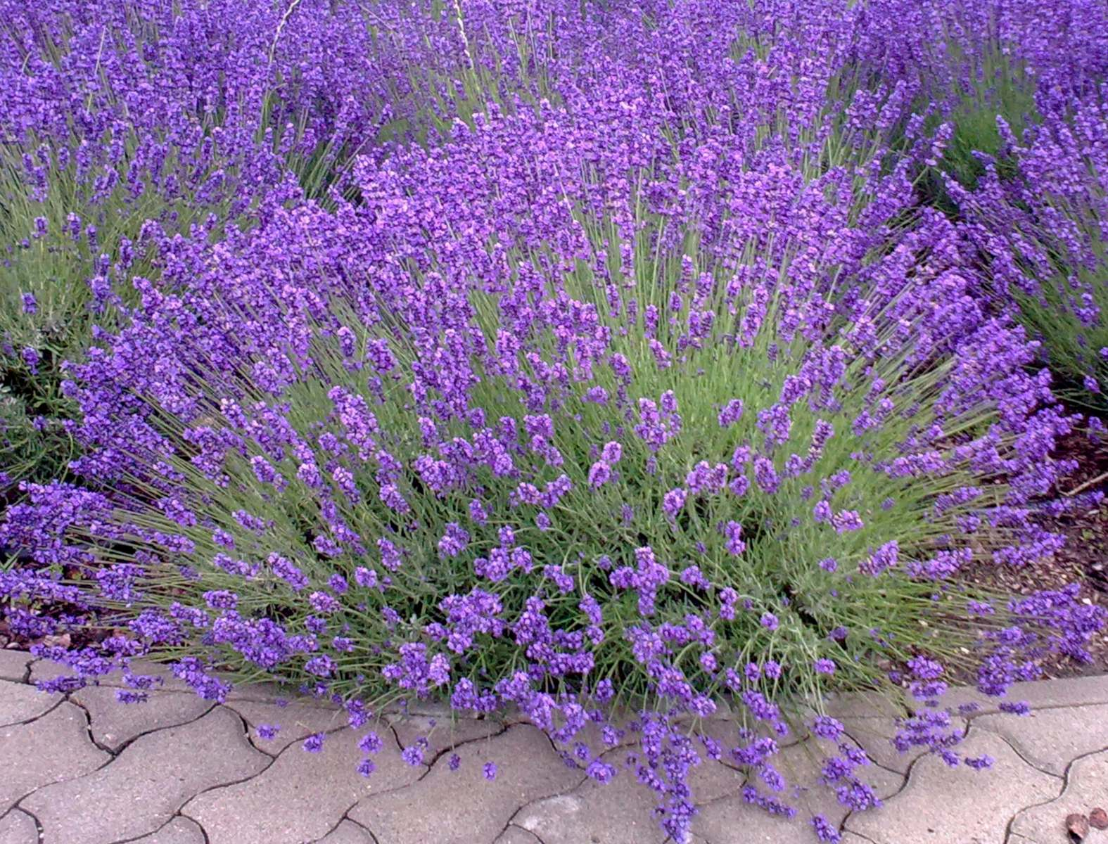 Lavender Planting Care And Trimming This Fragrant Flower Into Mounds