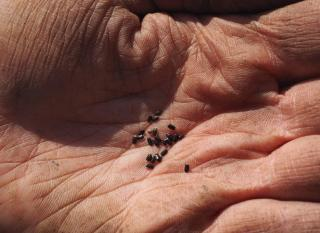 Lavender seeds, tiny as a speck, in a hand.