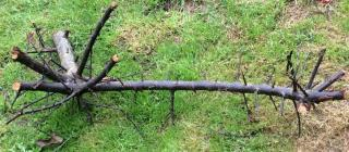 Pruned blackthorn branch with massive spikes on the grass.