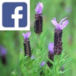 Picture related to French lavender overlaid with the
