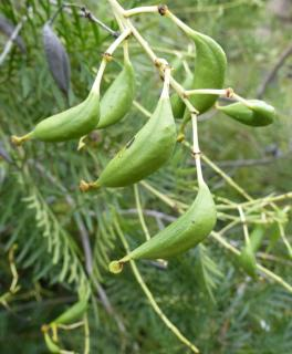 Unripe seed pods of the guitar plant