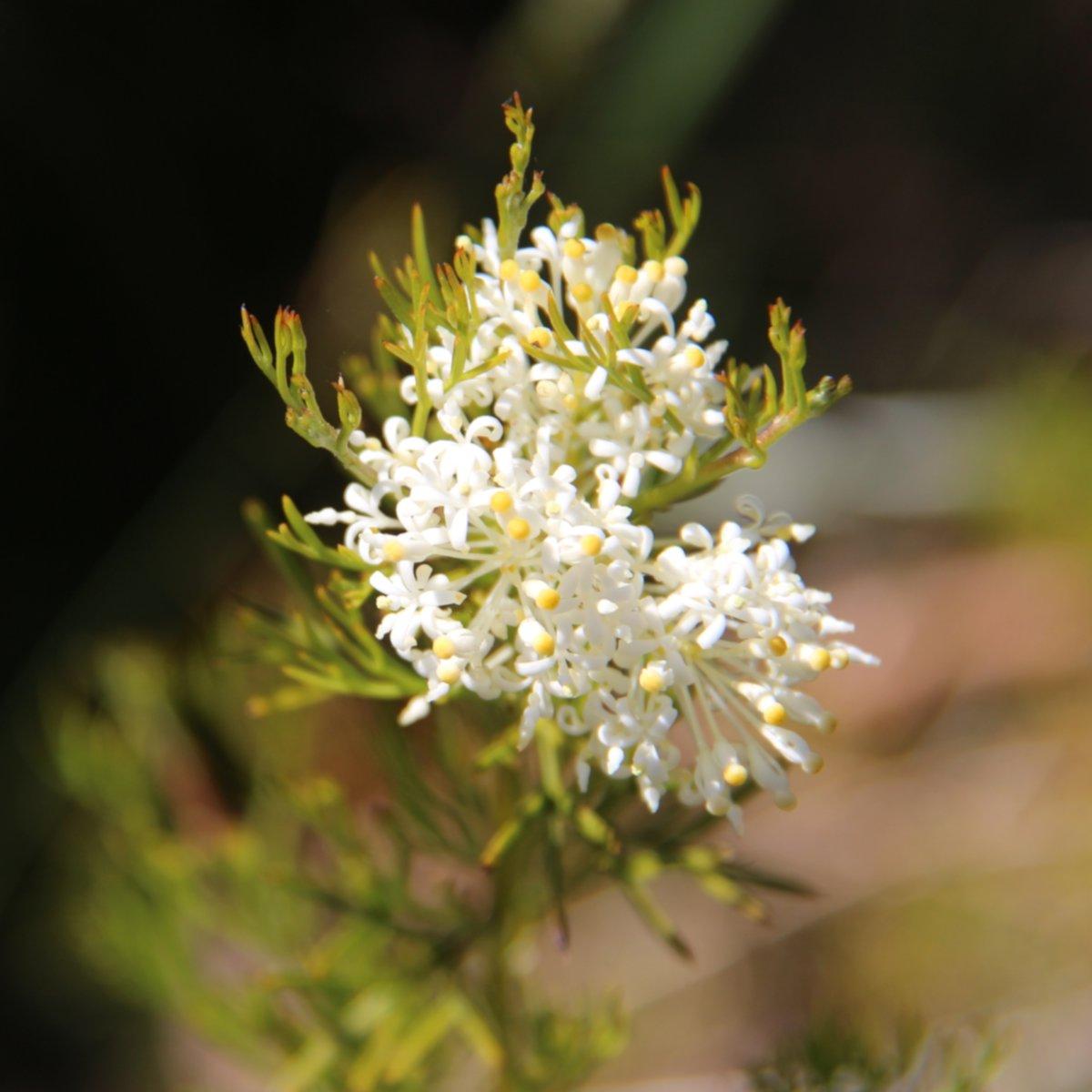 Guitar plant flower