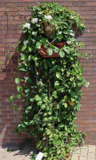 Stephanotis dangling down a brick wall