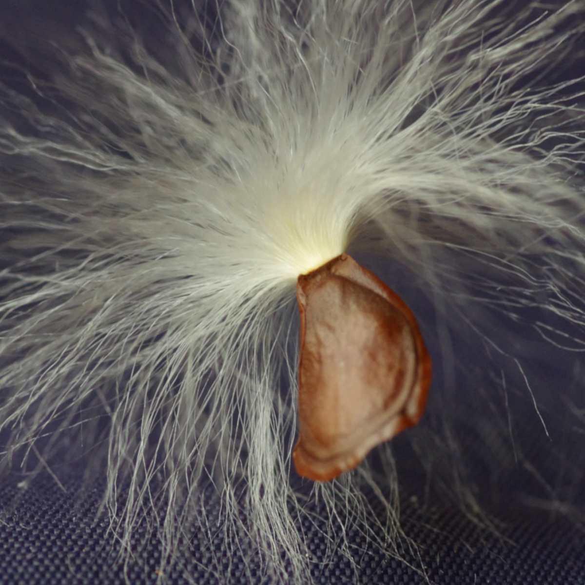 Seeds from the Stephanotis vine