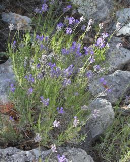 Spike lavender growing among rocks.