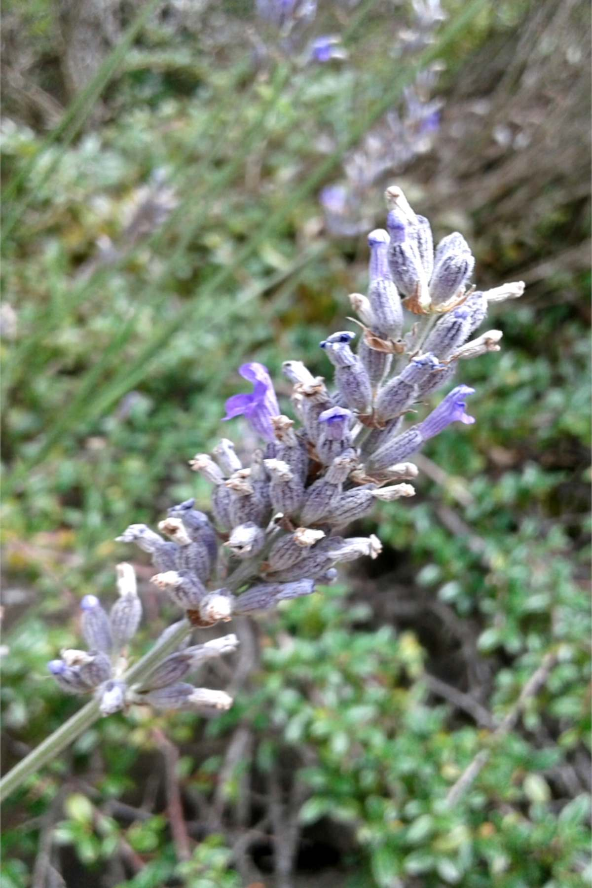 A full panicle of spike lavender flowers close-up, slightly dried.