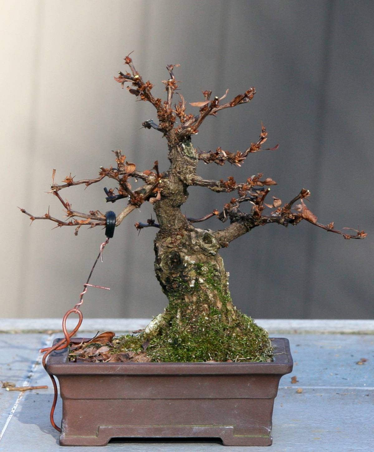 Barberry bonsai, how to grow one from scratch