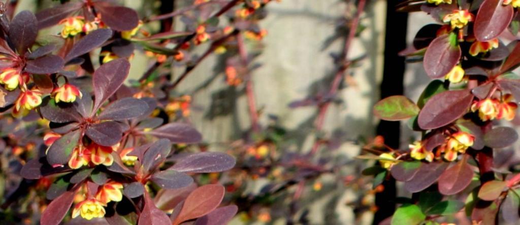 Crimson pygmy dwarf barberry shrub variety.