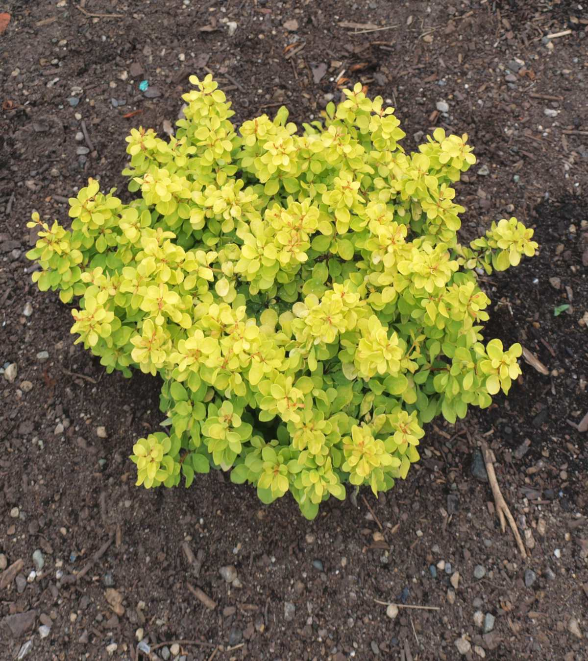 Dwarf Barberry varieties, berberis for low-lying hedges and wonderful shrub beds