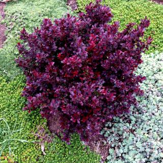 Deep red-colored dwarf barberry