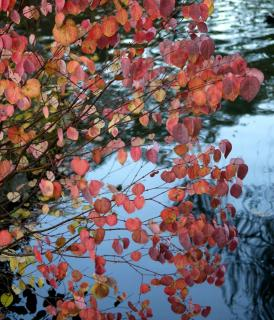 Katsura tree with peach-colored leaves overhanging a lake.