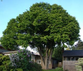 Katsura tree grown three stories tall.