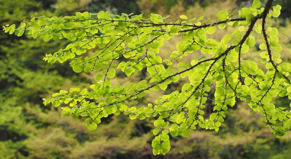 Spring katsura tree branch with soft green leaves.