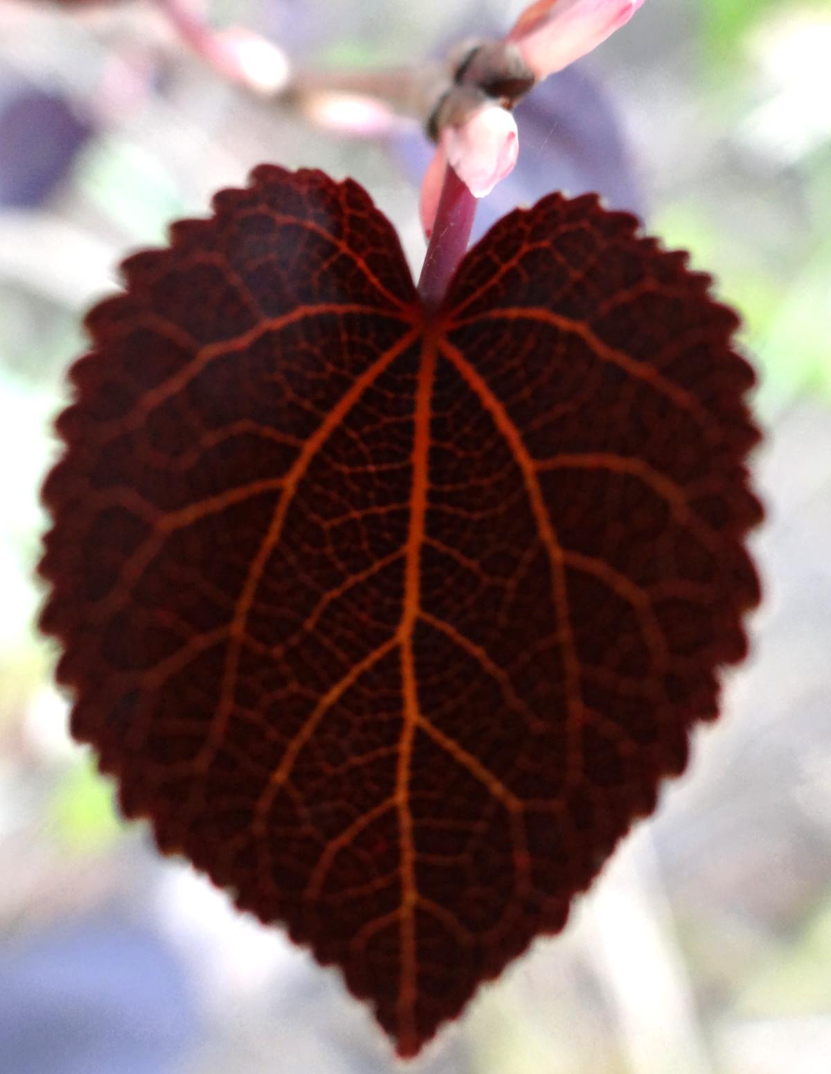 Red Fox or Rot Fuchs katsura tree variety leaf